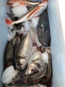 Tarakihi and blue cod