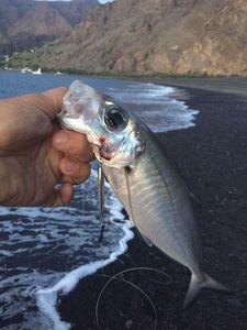 Pacific Jack Mackerel