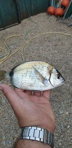 Black Seabream — Vincent Saliba