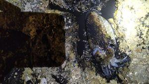 Common Cuttlefish — Mehdi Ben