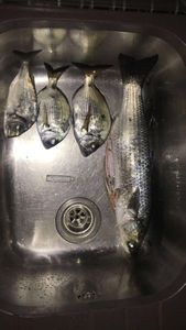 Thicklip Grey Mullet — David Villa