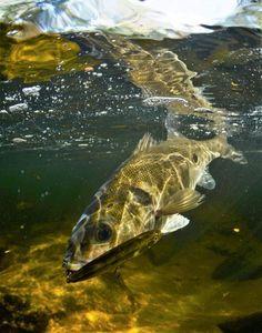 European Bass (Seabass) — Morgan CALU