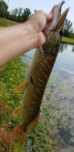 Northern Pike — Andral Christophe