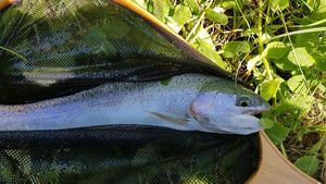 Rainbow Trout — Christophe Lagleyse