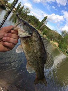 Largemouth Bass — Adrien Casagrande