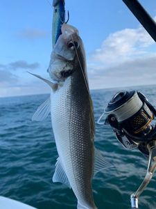 European Bass (Seabass) — Greg FishFriender
