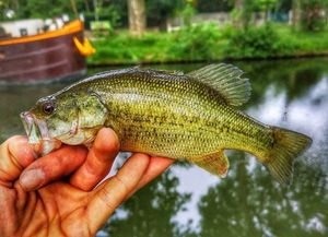 Largemouth Bass — Ju Fisherman