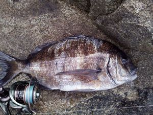 White Seabream — Youn AFC