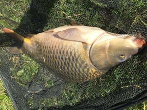 Common Carp — Luca (Carp Activity)