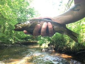 Brown Trout — Thomas Cartier