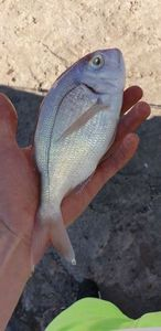 Blackspot Seabream