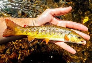 Brown Trout — Alban Bonnefond
