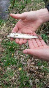 Atlantic Salmon (Landlocked) — G G