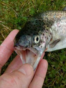 Rainbow Trout — P Fish