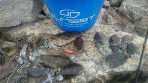 Common Cuttlefish — Jérôme  Lomonaco