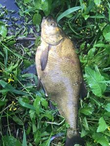 Common Bream — Kevin Ocampo