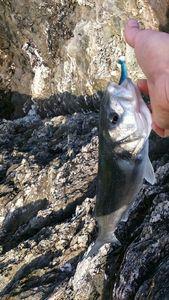Bar Commun (Loup) — breizh fish addict
