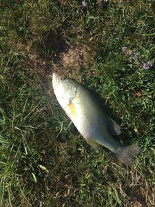 Largemouth Bass — Jordan Meilhan