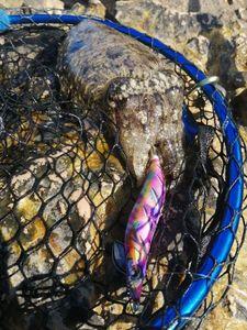 Common Cuttlefish