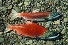 Saumon Rouge
