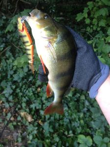 European Perch — Thomas Godard