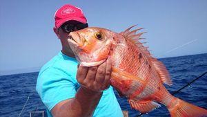 Redbanded Seabream