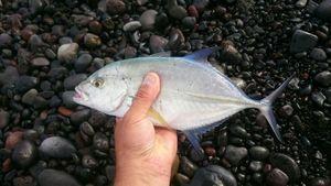 Bluefin Trevally — GIORGIO  ANDRIEU