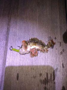 Brown Scorpionfish — Ericou Pba