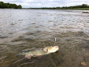 Chub — Franck Kayak Fishing