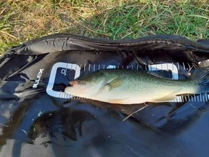 Largemouth Bass — Pierre Tribouart
