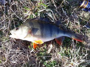 European Perch — Valentin Joly