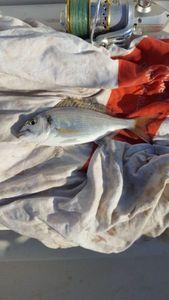 Black Seabream — Pierre-Jean Jardinet