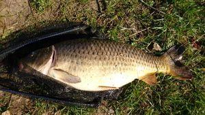 Common Carp — Jérém 54