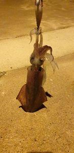 European Squid — Ben Benito Rockfishing