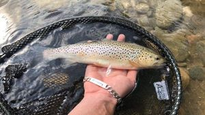 Brown Trout — Gregory Andrieu