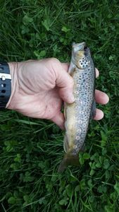 Brown Trout — Bruno BEUDET