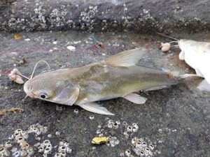 Crucifix Sea Catfish