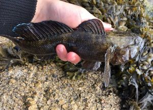 Giant Goby