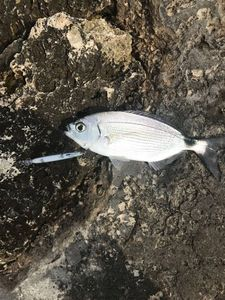 Saddled Seabream