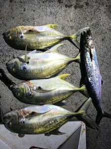 Pacific Crevalle Jack — Lorry HILAIRE