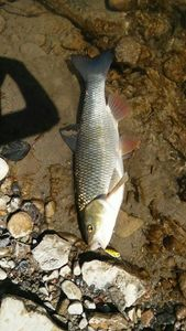 Chevesne — sylblue Fishing