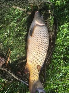 Common Carp — Tony Beaudoin