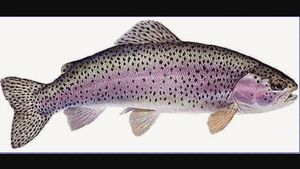 Rainbow Trout — Guillaume  Bernkopf