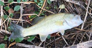 Largemouth Bass — Julien carnaillou