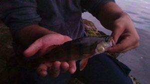 European Perch — Tatan Pêche