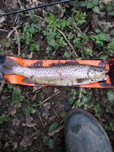 Brown Trout — Arnaud  Yaicle