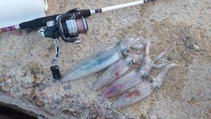 European Squid — Flo Del Monte