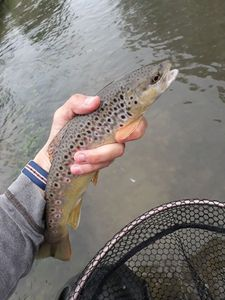 Brown Trout — Martin Pennel