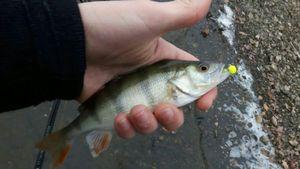 European Perch — Breizh Fisher