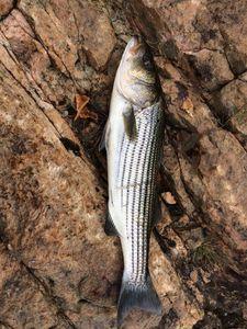 Striped Bass (Landlocked) — Michael Dube